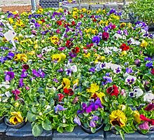 Pansies by Susan S. Kline