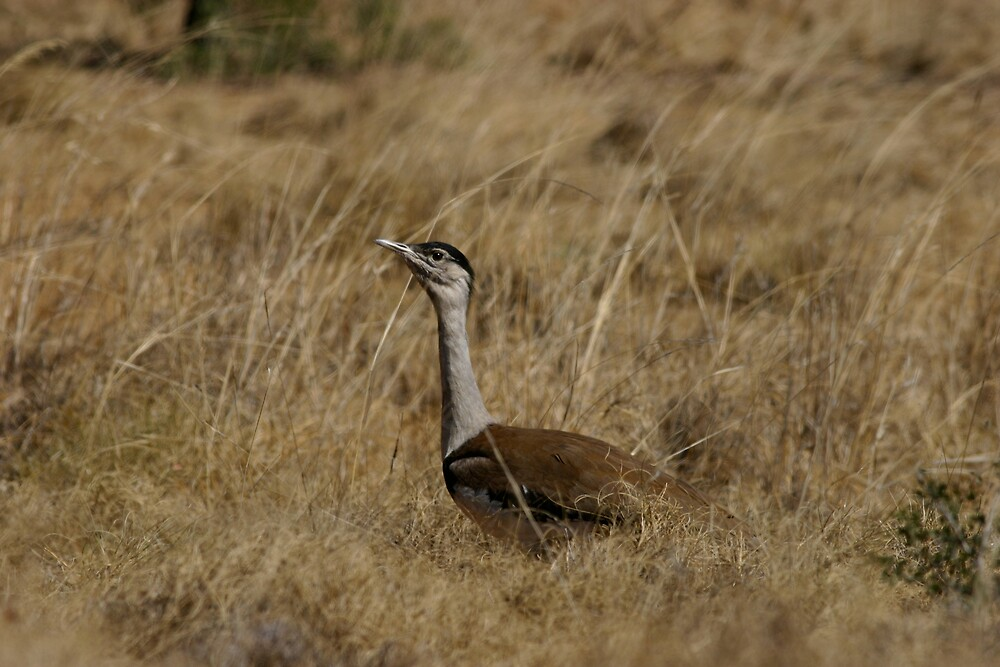 Bustard by Mark Williamson