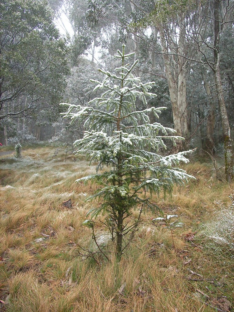 Snow bush conifer by Paul Hosking