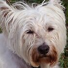 Highland Terrier by vigor
