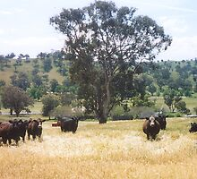 Cattle October 2004 by AnnH
