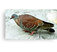 Rock Pigeon, Table Mountain, South Africa Canvas Print