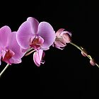 pink orchid by lauren varcoe