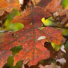 Last call on the Maple  Leaf by KSKphotography