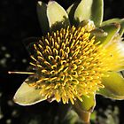 """One Pin"" of an Overberg pincushion (Leucospermum oleifolium) by Marilyn Harris"