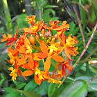 'Fire' Native flower, Thursday Plantation, 'Ballina' N.S.W. by Rita Blom