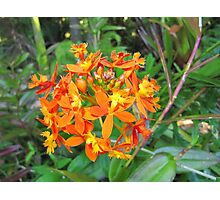 'Fire' Native flower, Thursday Plantation, 'Ballina' N.S.W. Photographic Print