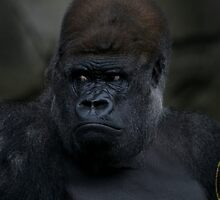 The Silverback by FusionPhotography
