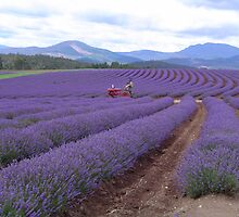 Lavender Farm - Tasmania by Barry Ross