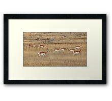 Prairie Pronghorn Framed Print