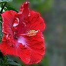 Red Hibiscus by cclaude