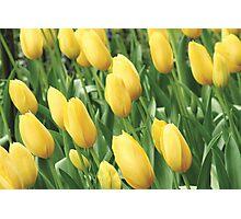 Yellow Tulips Photographic Print