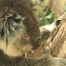 Koala by Kathryn Steel