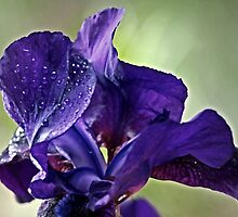 """""""Iris in the Wind """" by Rosehaven"""