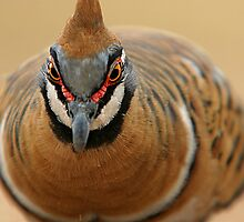Spinifex Pigeon from Hell by Rob Gray