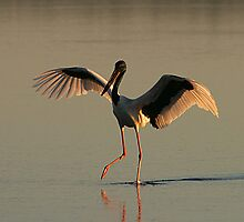 Jabiru fishing by Rob Gray