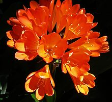 Clivia at Toowoomba by Graeme  Hyde