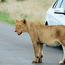 AND THEN ALL WINDOWS WERE CLOSED - THE LION – Panthera leo by Magriet Meintjes