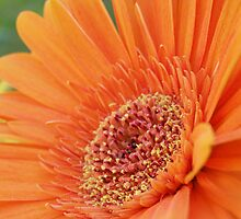 orange gerbra by bex1