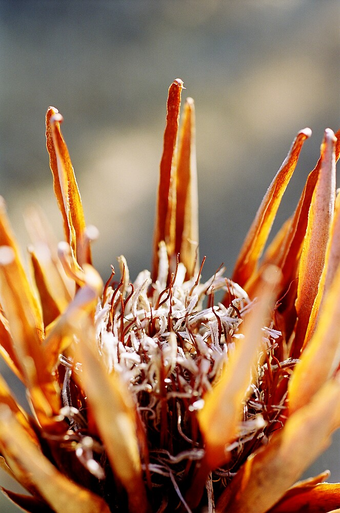 Proteaceae in Decay by mgimagery