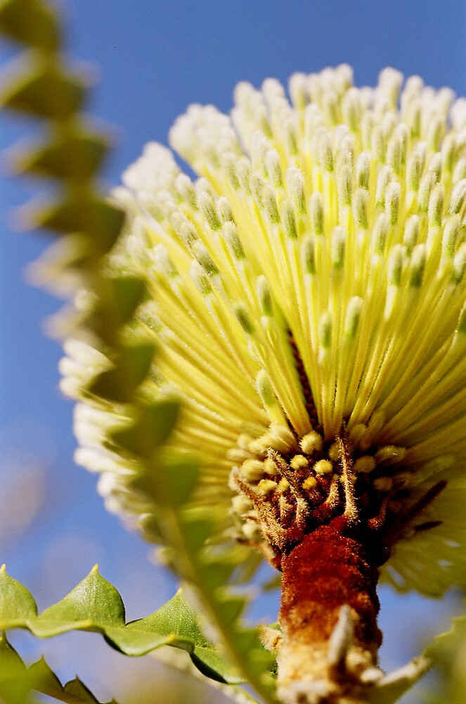 Underbelly of a Banksia by mgimagery