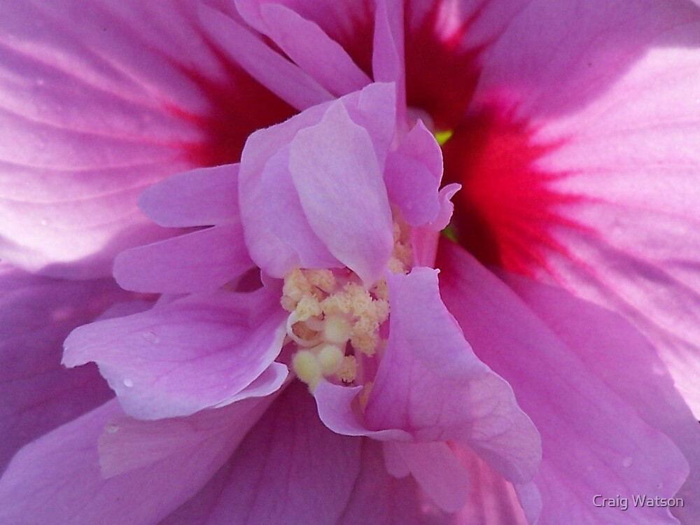 Hibiscus flower by Craig Watson
