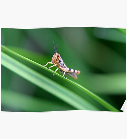 Grasshopper on Grass Poster