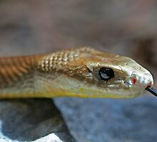 Coastal Taipan 2 by Mark Snelson