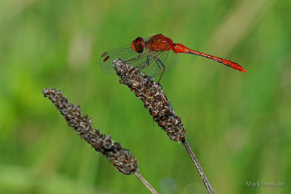 Red Dragonfly by Mark Snelson
