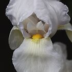 White Iris Delight by Joy Watson