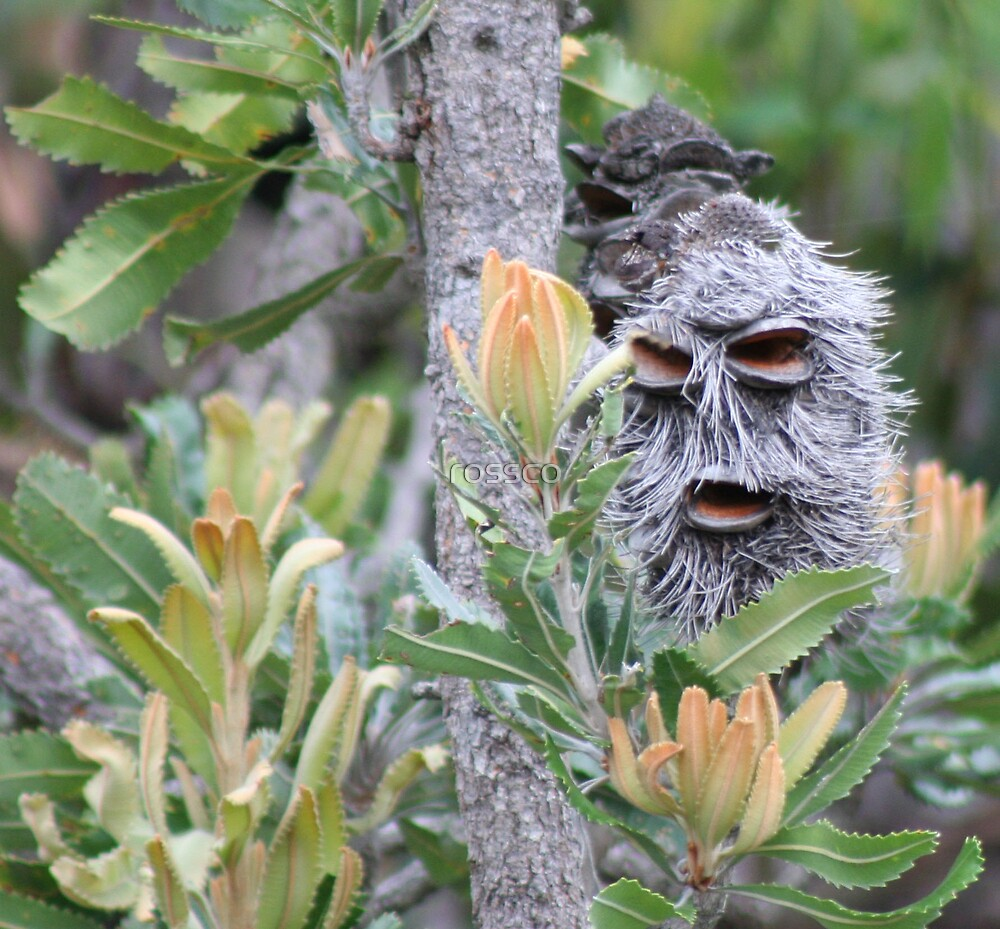 The Banksia Man by rossco