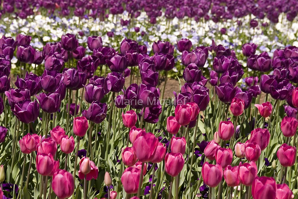 Purple Tulips by Shutterbug
