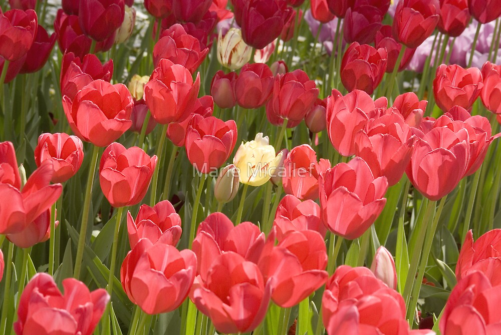 Red Tulips With Single White Tulip by Shutterbug