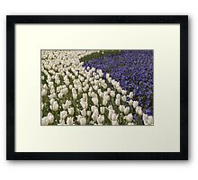 White And Purple Tulips Framed Print