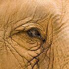 Elephant Eye by Shutterbug