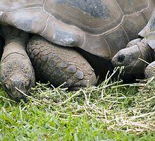 Giant Galapagos Land Tortoise by Shutterbug