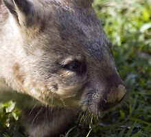 Common Wombat by Shutterbug