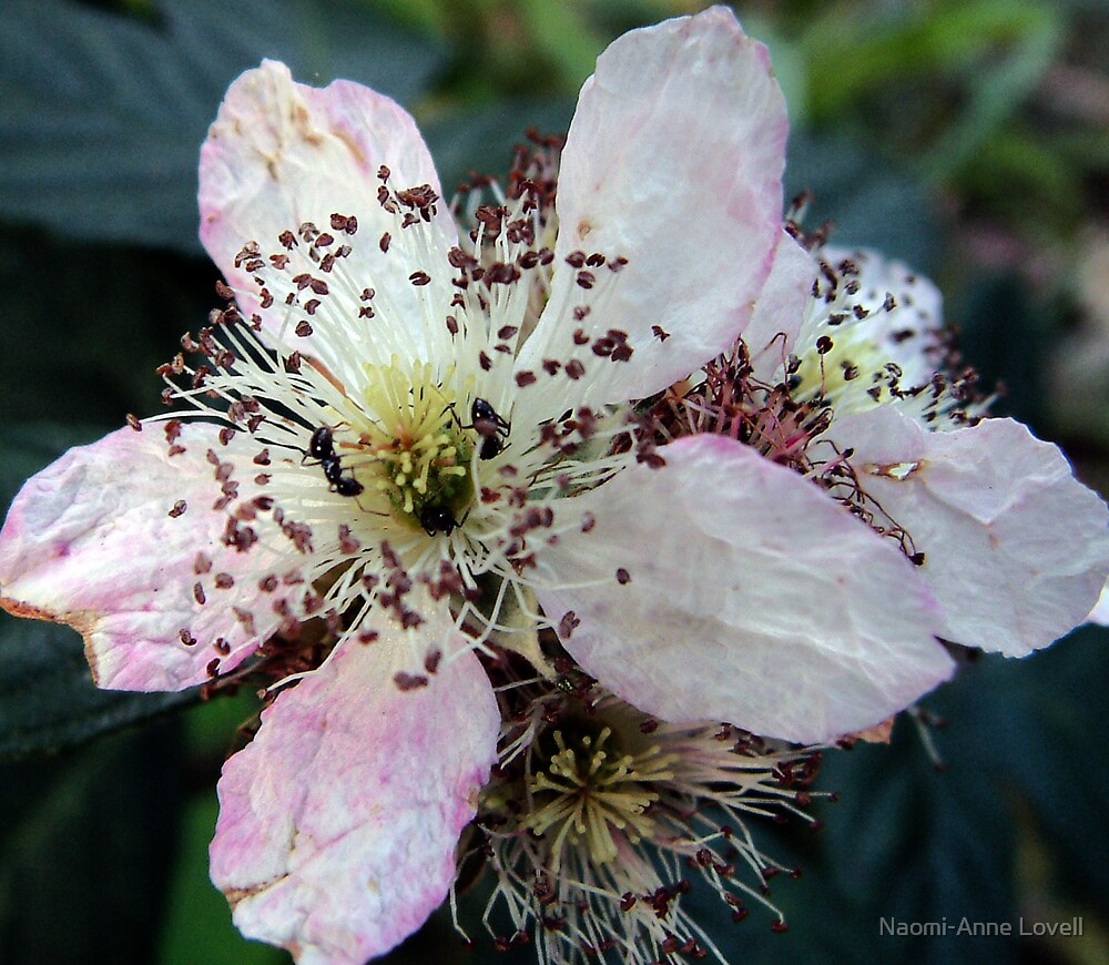 Ants on a blossomflower, nature, pink, blossom by Naomi-Anne Lovell