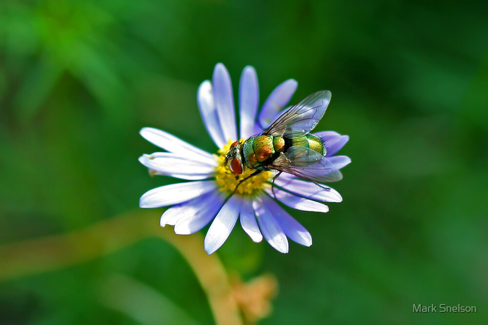Greenbottle Fly on Flower by Mark Snelson
