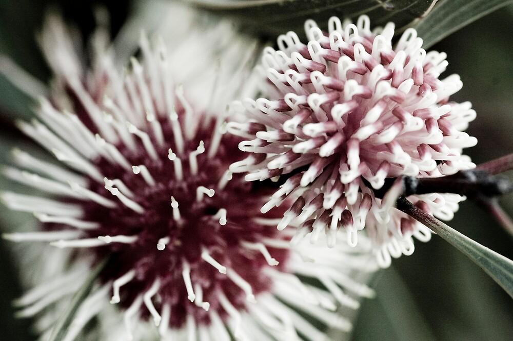 Hakea Flowers by Timothy Oon