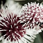 Hakea Flowers by Timothy Oon