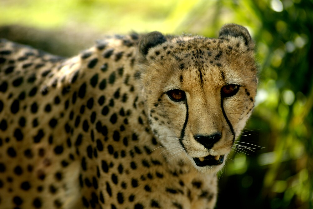 Cheetah by Timothy Oon