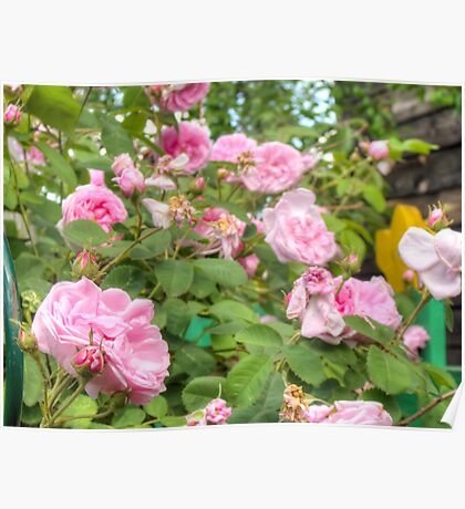 Pink Roses in the Garden Poster