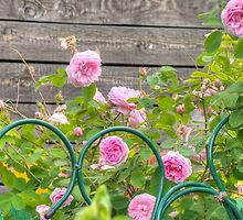 Pink Roses in the Garden 3 by AnnArtshock