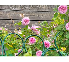 Pink Roses in the Garden 3 Photographic Print