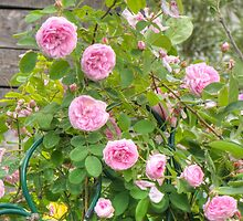 Pink Roses in the Garden 4 by AnnArtshock