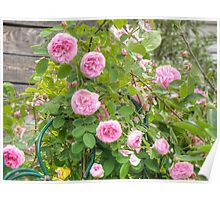 Pink Roses in the Garden 4 Poster