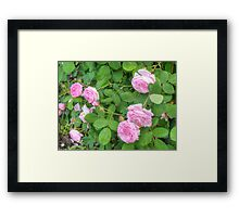 Pink Roses in the Garden 5 Framed Print