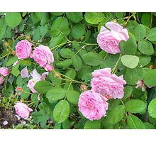 Pink Roses in the Garden 5 Photographic Print