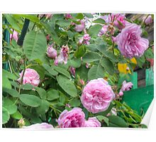 Pink Roses in the Garden 6 Poster